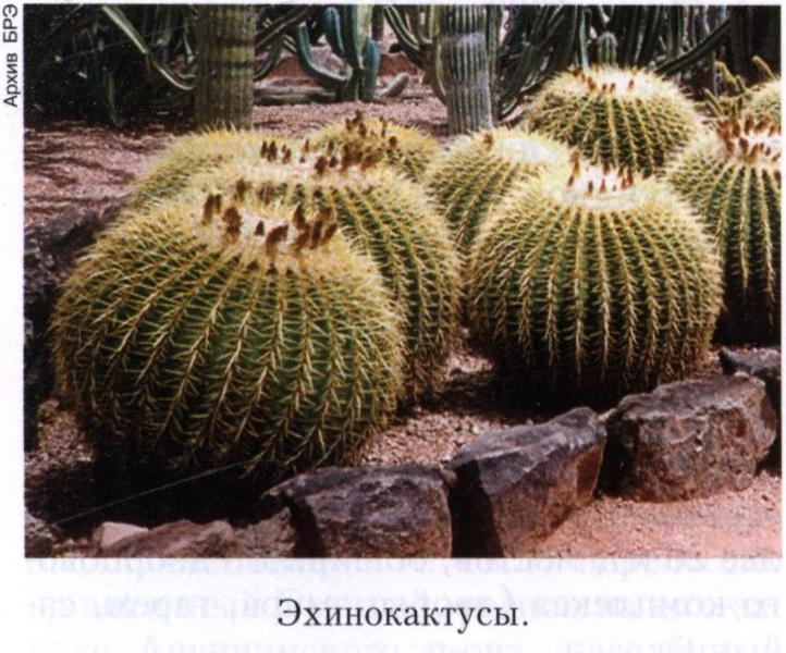 Кактусовые