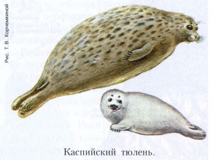 Касийский тюлень,
