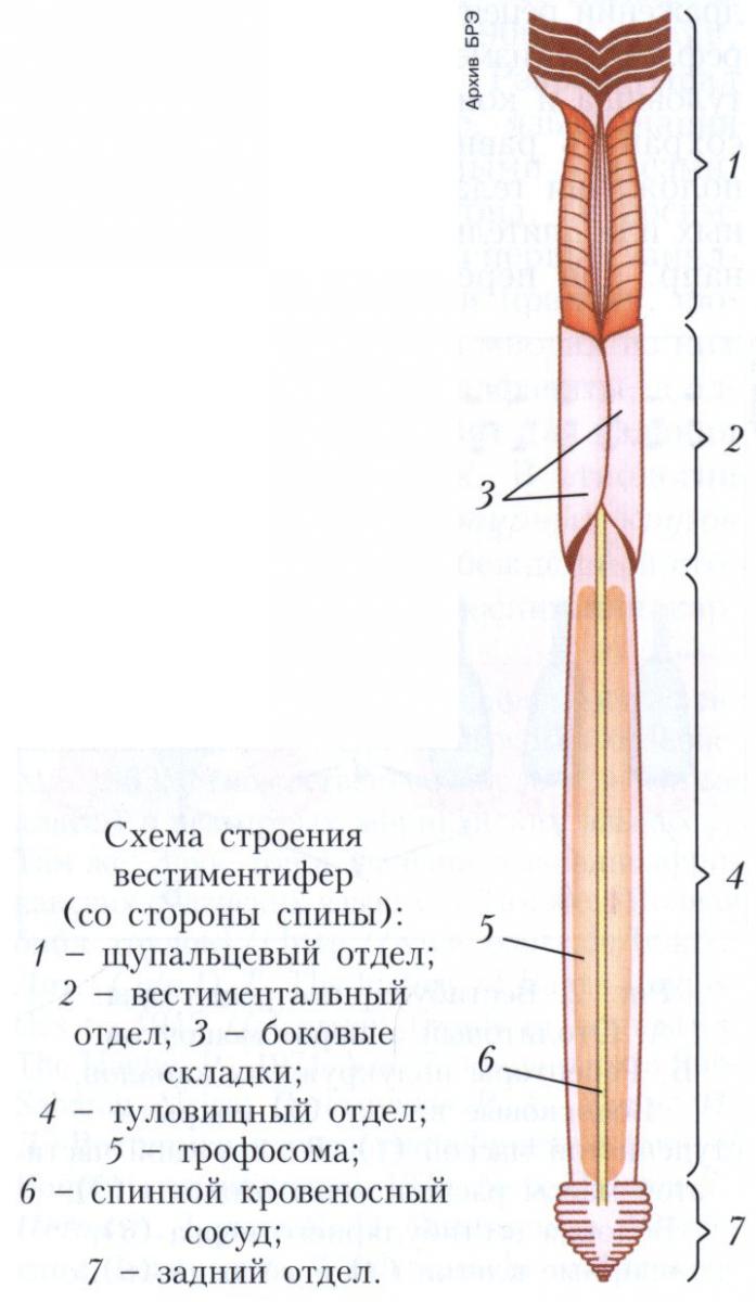 Вестиментиферы