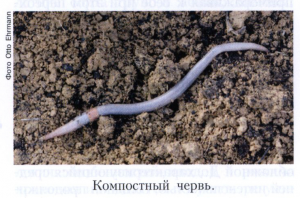 Дождевые черви