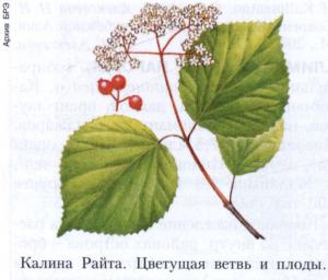 Калина