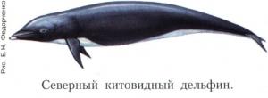 Китовидные дельфины
