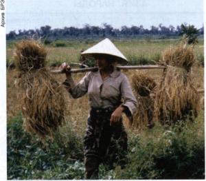 уборка риса в Лаосе