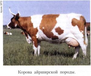 АЙРШИРСКАЯ ПОРОДА