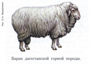 Дагестанская горная порода овец